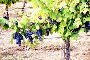 Укриття винограду на зиму в Підмосков'ї
