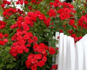 Чем укрыть розы на зиму в подмосковье