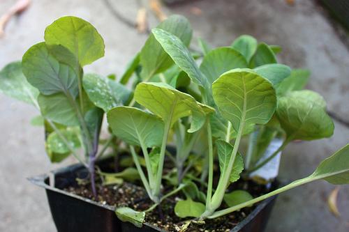 Как сажают цветную капусту на рассаду 46
