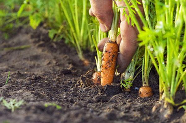Когда сажать морковь в 2017 25