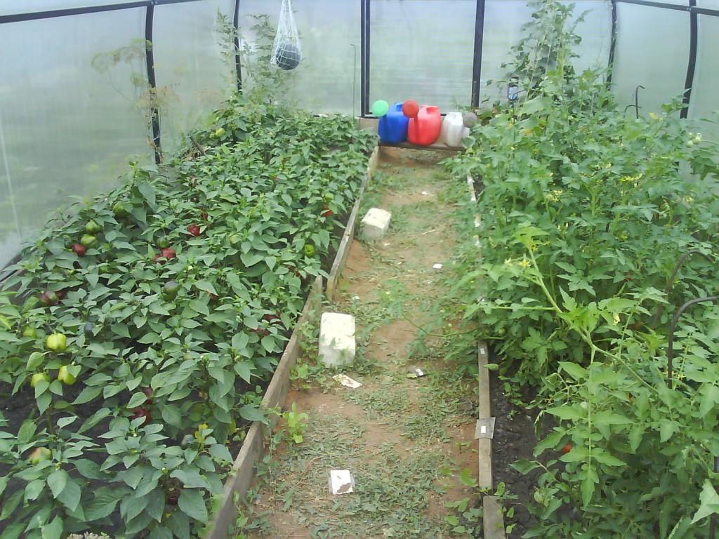 Сажать помидоры рядом с огурцами