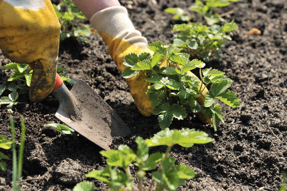 как сажать клубнику весной пошаговая инструкция - фото 5