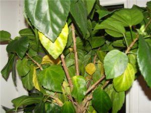 Желтеют и опадают листья