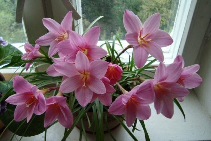 Выскочки цветы фото