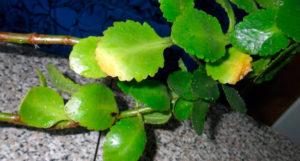 Желтеют листья