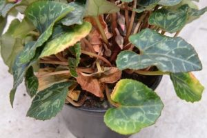 Желтеют листья у цикламена