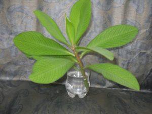 Синадениум
