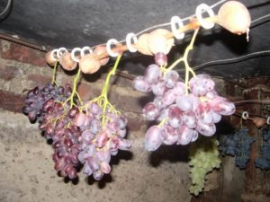 Сохранение виноградной лозы