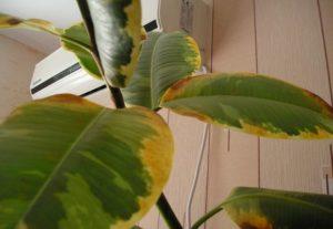 Желтеют листья у фикуса
