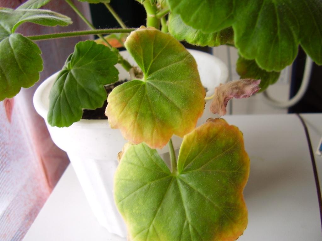 Почему желтеют листья у фиалки что делать с желтыми