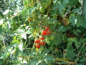 теневыносливые овощные растения