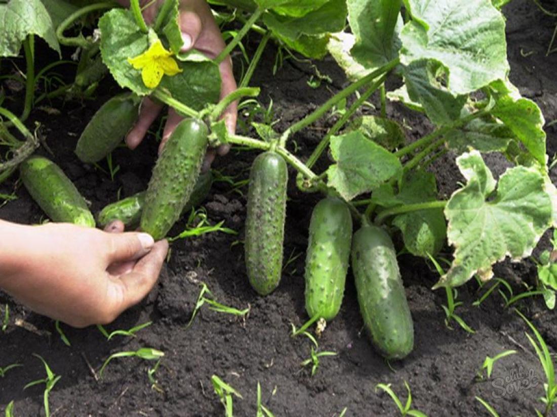 Как получить урожай огурцов в июне 914