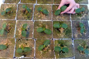 Как необходимо сажать огурцы под пленку семенами