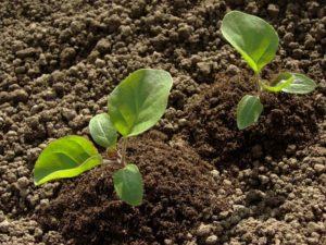 сажать баклажаны в открытый грунт семенами