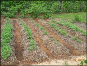 сажать картошку под солому
