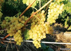 Как правильно нужно сажать виноград в Башкирии