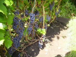 правильно нужно сажать виноград в Башкирии