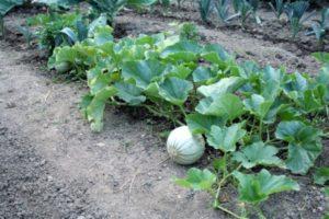 сажать дыню в открытый грунт и выращивание