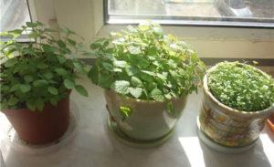 Как правильно сажать мелиссу из семян и уход