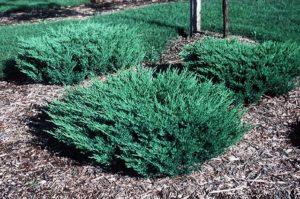 Ялівець як садити і доглядати