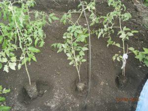 Как правильно сажать переросшие помидоры в открытый грунт