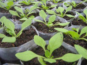 Как правильно сажать петунию семенами