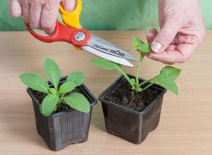 сажать петунию семенами