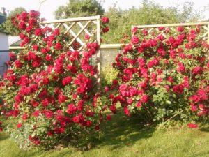 Как правильно сажать плетистую розу