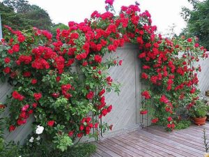 сажать плетистую розу