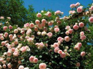 правильно сажать плетистую розу