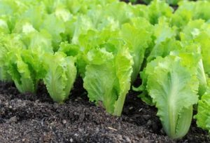 Как правильно сажать салат листовой в открытый грунт
