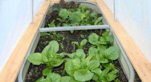 сажать салат листовой в открытый грунт
