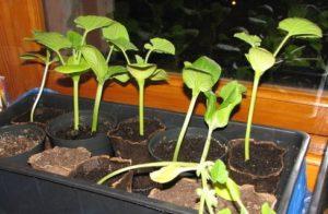 Как правильно сажать тыкву рассадой в открытый грунт