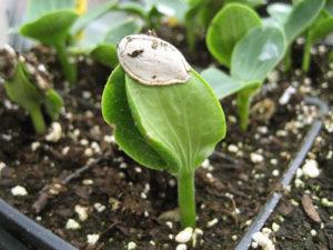 сажать тыкву рассадой в открытый грунт