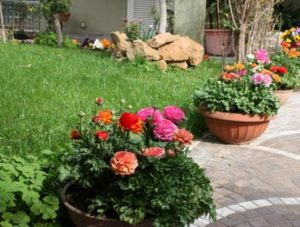 Как правильно сажать цветы ранункулюсы