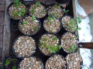 правильно сажать цветы ранункулюсы
