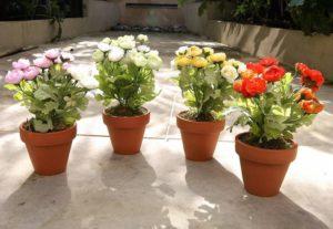 Как вырастить ранункулюс из семян