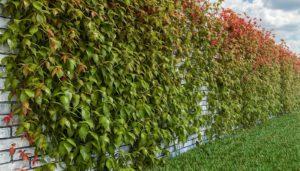 Как сажать дикий виноград и пустить его по постройкам