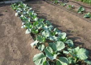 Как сажать капусту брокколи в открытый грунт