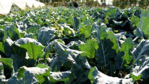 сажать капусту брокколи в открытый грунт