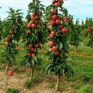Как сажать колоновидные яблони и на каком расстоянии