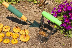 Как сажать луковицы гладиолусов в открытый грунт