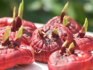 Как сажать луковицы гладиолусов