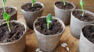 Как сажать огурцы рассадой в открытый грунт