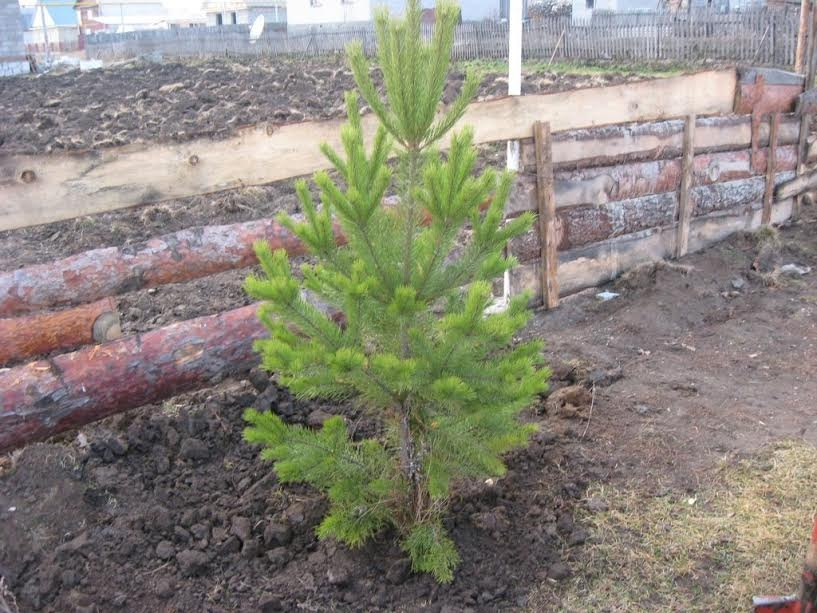 Сажают ли елки дачи 91
