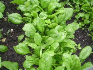 Как сажать шпинат семенами в открытый грунт