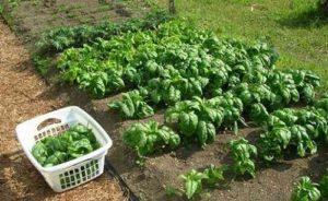 сажать шпинат семенами