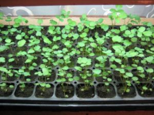 Как следует сажать землянику рассадой в открытый грунт