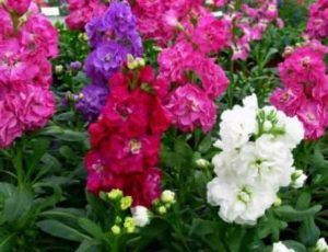 как нужно выращивать из семян маттиолу