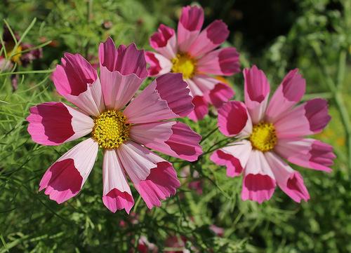 Космея цветок фото ракушка
